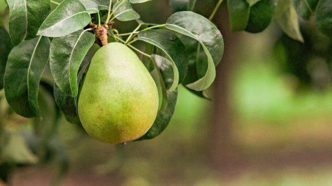 אגסים נחשבים למקור מצוין של ויטמין C, נוגדי חמצון וסיבים תזונתיים