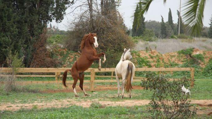 המבקרים ילמדו לזהות את הסימנים הקטנים שנותנים לנו הסוסים