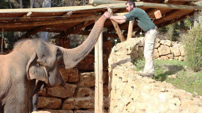 אימון פילים על פי שיטה ייחודית המספקת לפילים איכות חיים גבוהה