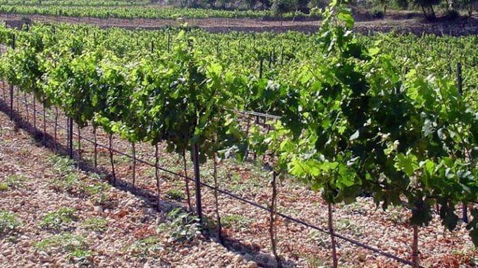 """יין העשוי מ- 4 זני ענבים """"מוזרים"""" כאלה, שכאן בישראל לא נתקלים בהם ביום יום"""