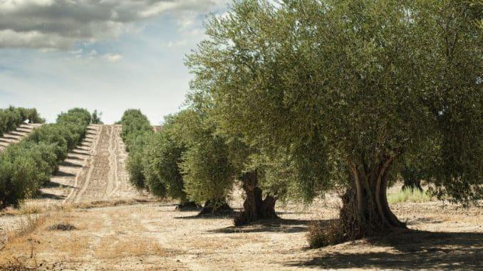 בימים אלה החלה עונת המסיק, והחקלאים מצפים לייצור של כ-18,000 טון שמן זית ישראלי