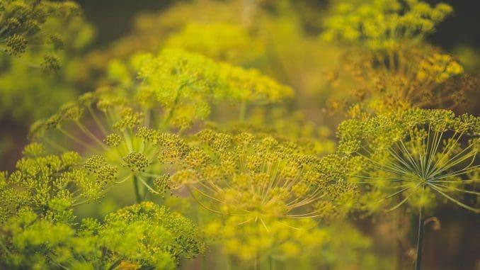 כל חלקי הצמח נאכלים: עלים, פרחים, שורש וזרעים
