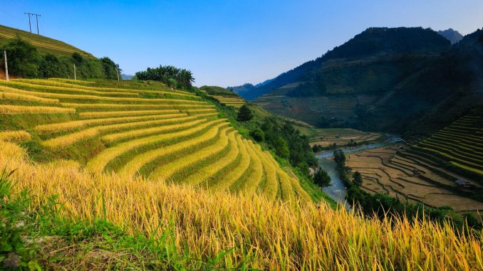 אורז הוא הגידול השלישי בתפוצתו בעולם אחרי תירס וחיטה, וסביר להניח שיישאר בסביבה עוד שנים רבות. צילום pixabay