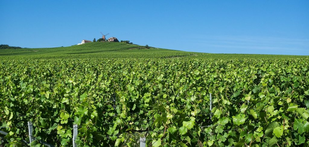 כרם בריימס, שמפיין. בל נשכח שצרפת היא גדולת המשתמשים בחומרי הדברה בכרמים. צילום pixabay