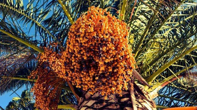 התמר נחשב למזון על ובעל ערכים תזונתיים גבוהים במיוחד ומהווה בישראל אחד מענפי החקלאות המשגשגים ביותר. צילום pixabay