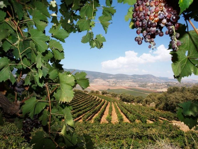 הזדמנות מצוינת לצאת ולבלות באזור היין המיוחד של הצפון. אזור מרום הגליל מציע שלל יקבים גדולים וקטנים, פעילויות ומופעים במהלך הפסטיבל. צילום ג'יני
