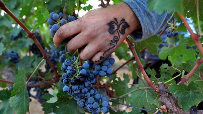 מתחבר לאנשים העובדים בכרמים ובתעשיית היין ולפרטים הקטנים כמו ידיים של מישהו. צילום דוד סילברמן dpsimages