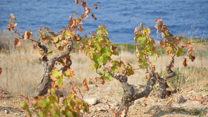 באי גדלים באי שני זני ענבים מקומיים: בגלרי – לבן, פוקייאנו – אדום. צילום זאב דוניה