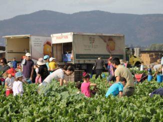 לקט ישראל זה גם איסוף תוצרת חקלאית בשדות. צילומים מארכיון הארגון