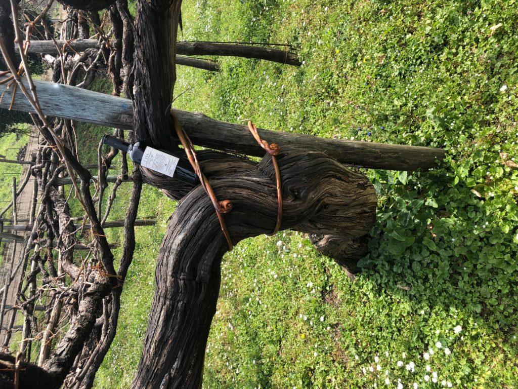 גפן בת 500 שנה ועליה בקבוק יין הדגל של היקב - E' Iss. צילום פאפא רצי