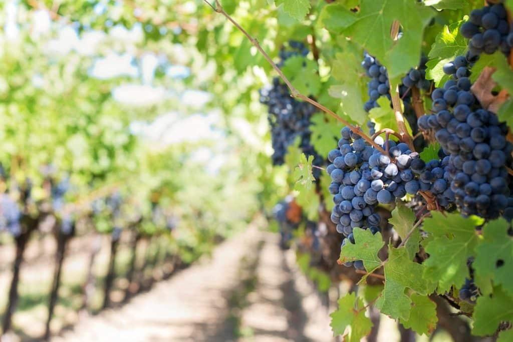 """יבול נמוך יצר צורך לייבא מיץ ענבים מחו""""ל. צילום pixabay"""