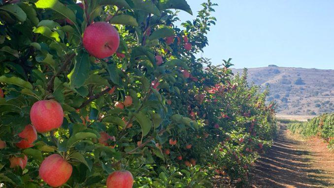 """משנה לשנה גדל שטח מטעי הפינק ליידי כשהכוונה היא שבעתיד הקרוב יהווה הזן כרבע מכלל יבול התפוחים בארץ. צילום מו""""פ צפון במטע פינק ליידי בעין זיוון"""