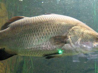 דגים כחול לבן בימי קורונה ולקראת פסח 2020